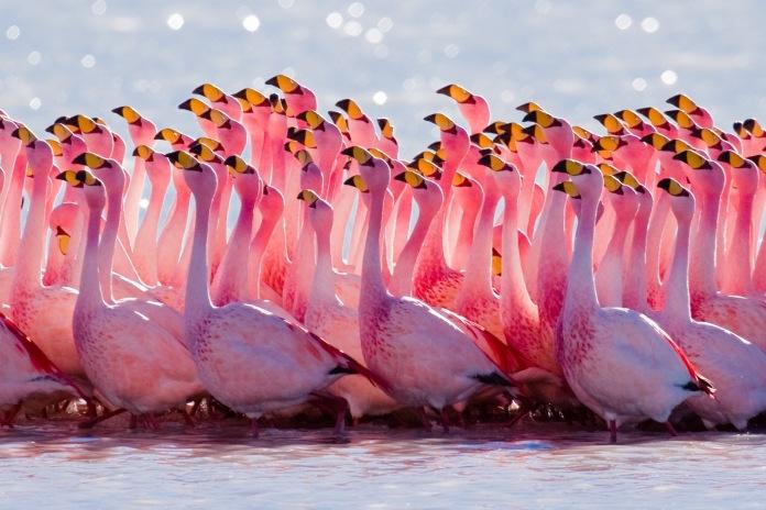 James's Flamingo